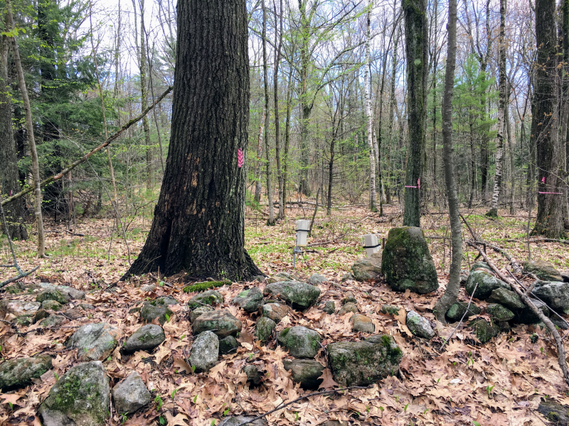 "The ""Witness Tree"" in the Harvard Forest, located in Petersham, Mass."