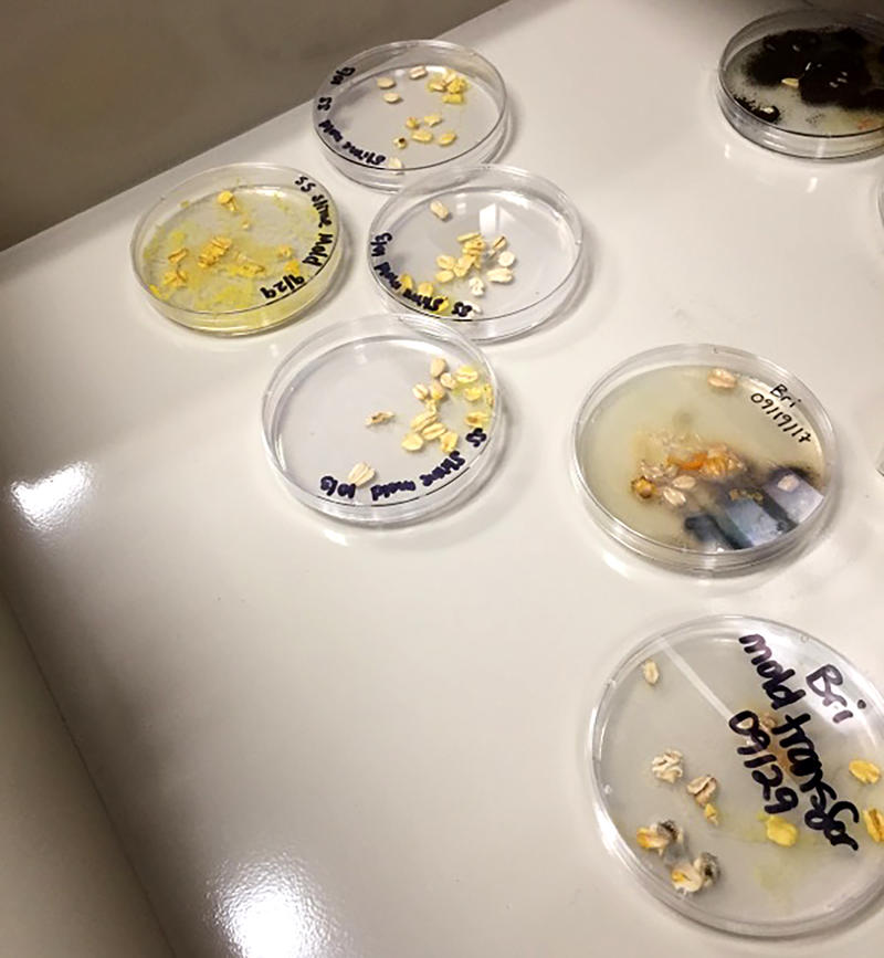 Slime mold grows in petri dishes at Hampshire College.