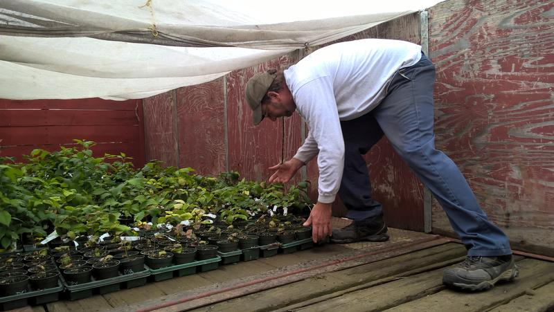Glenn Cutting loads up elm seedlings to bring to his nursery in Gill, Massachusetts.