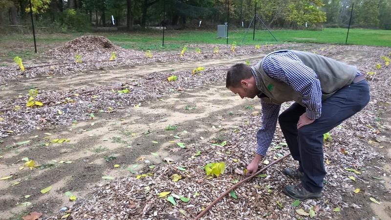 Alexander Sherman, assistant tree warden, City of Springfield, looking at elm saplings planted in Forest Park nursery.