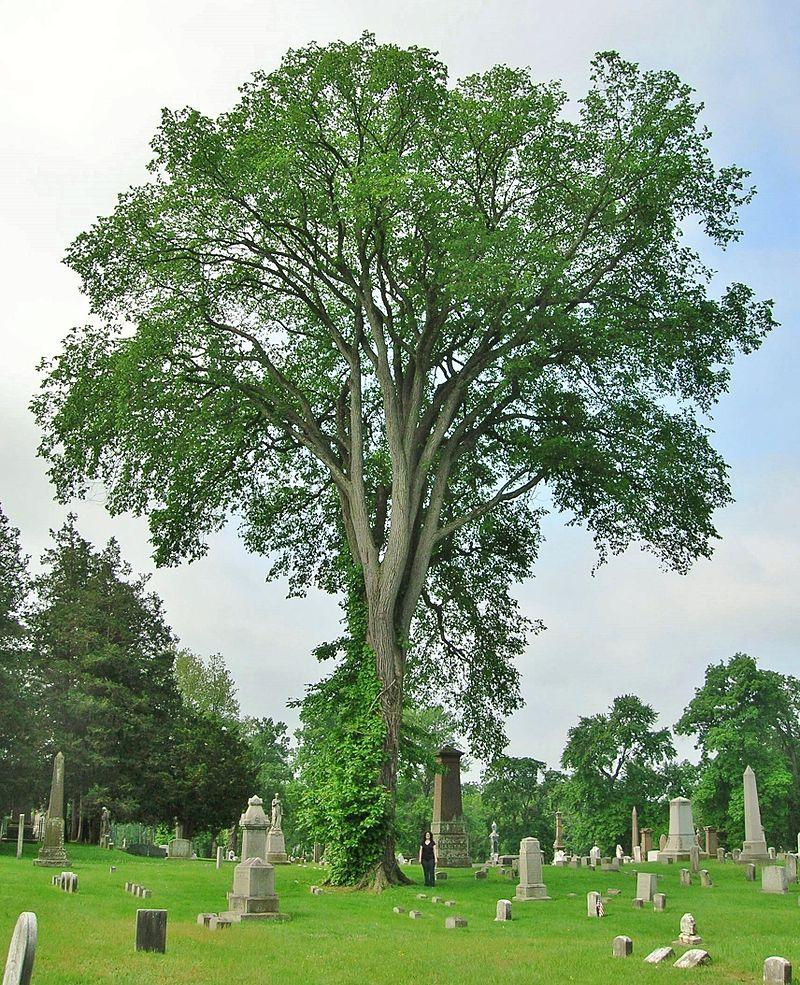 An American elm tree at Spring Grove Cemetery, Hartford, CT