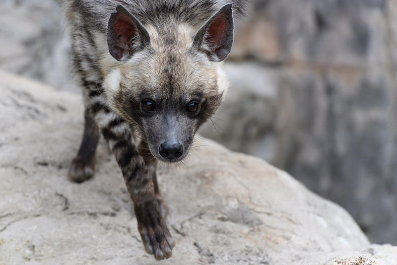 Striped hyenas have fewer neurons in their cerebral cortexes than golden retrievers.