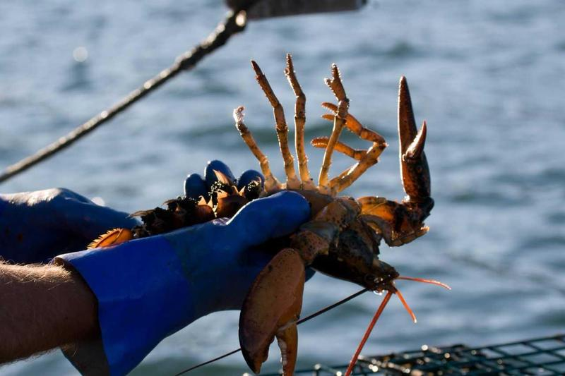 A fisherman holds up a lobster covered in eggs.
