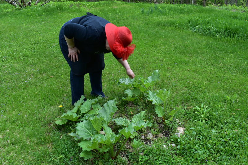 A small, young, and not-yet-ready-to-pick patch of rhubarb grows in the yard at Hawley, Massachusetts, cookbook author Tinky Weisblat's home.