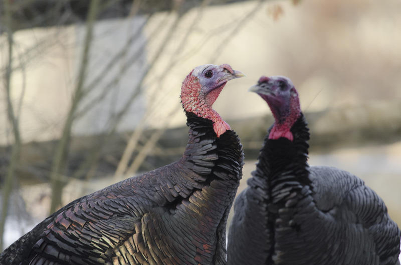Turkeys at the Drumlin Farm Wildlife Sanctuary in Lincoln, Massachusetts.