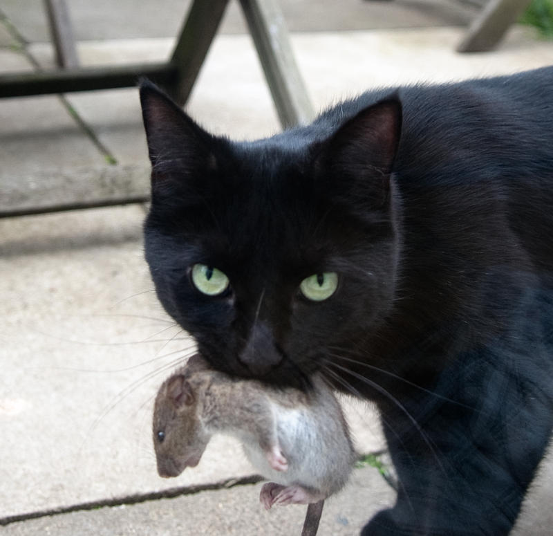 Cat with rodent.