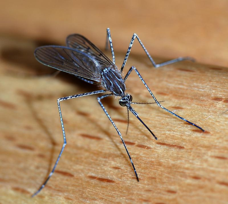 Close up of a female mosquito.