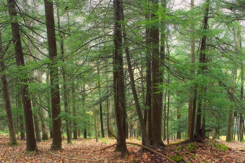A mountainside hemlock forest.
