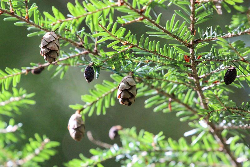 An eastern hemlock tree.