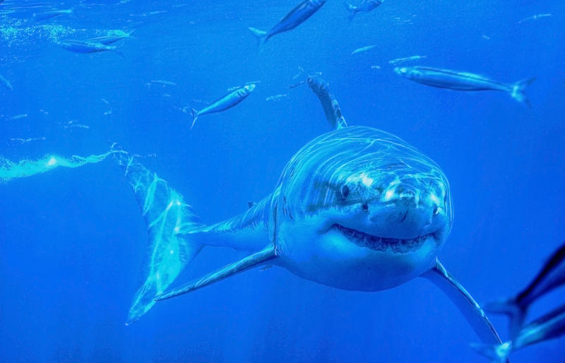 A great white shark off Mexico.