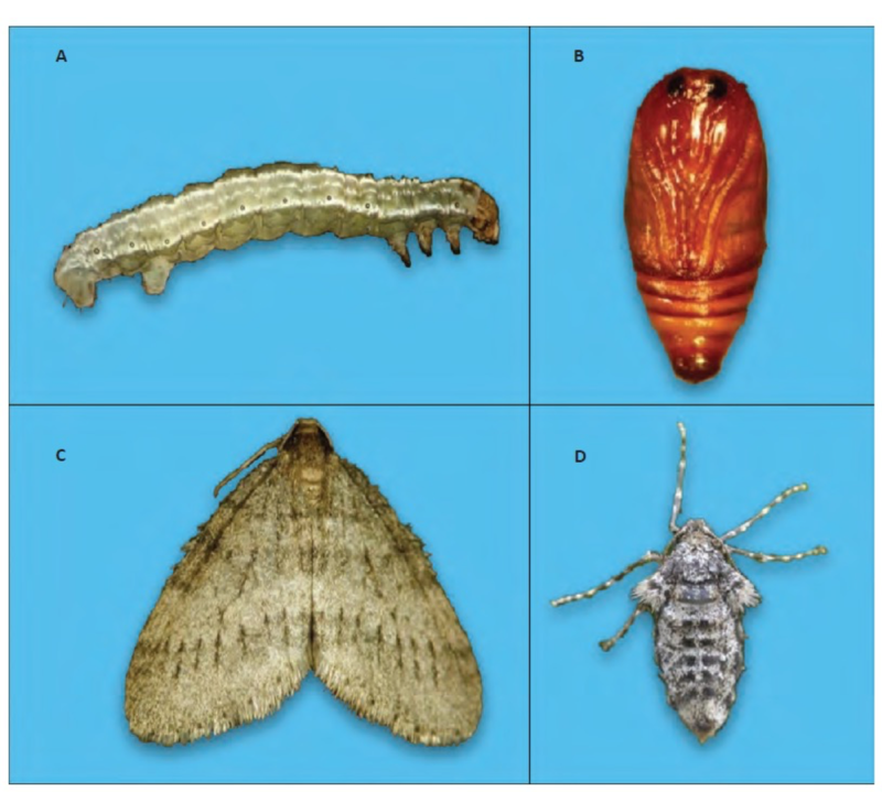 Various life stages of the winter moth.