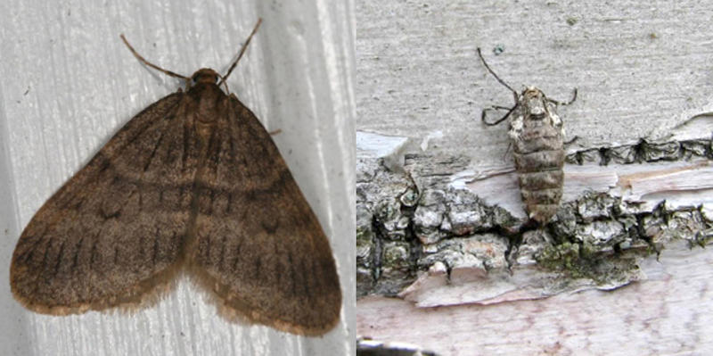 Adult male winter moth, at left, and adult female winter moth.