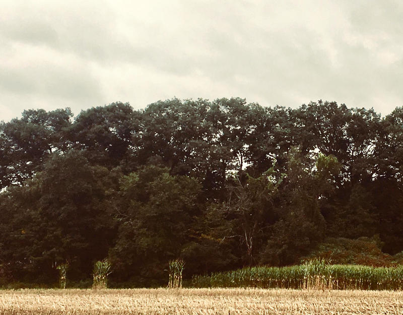 Solitary standing cornstalks in a field in Deerfield, Massachusetts. Martha Ackmann noticed many fields had a handful of stalks that hadn't been cut down, and wondered why.