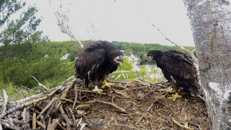 After disappearing from Massachusetts in the early 1900s, bald eagles have been making a comeback after three decades of state help.