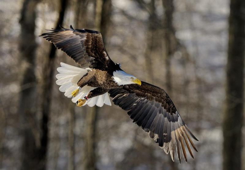 A bald eagle flies over Cranberry Pond in Sunderland last month.