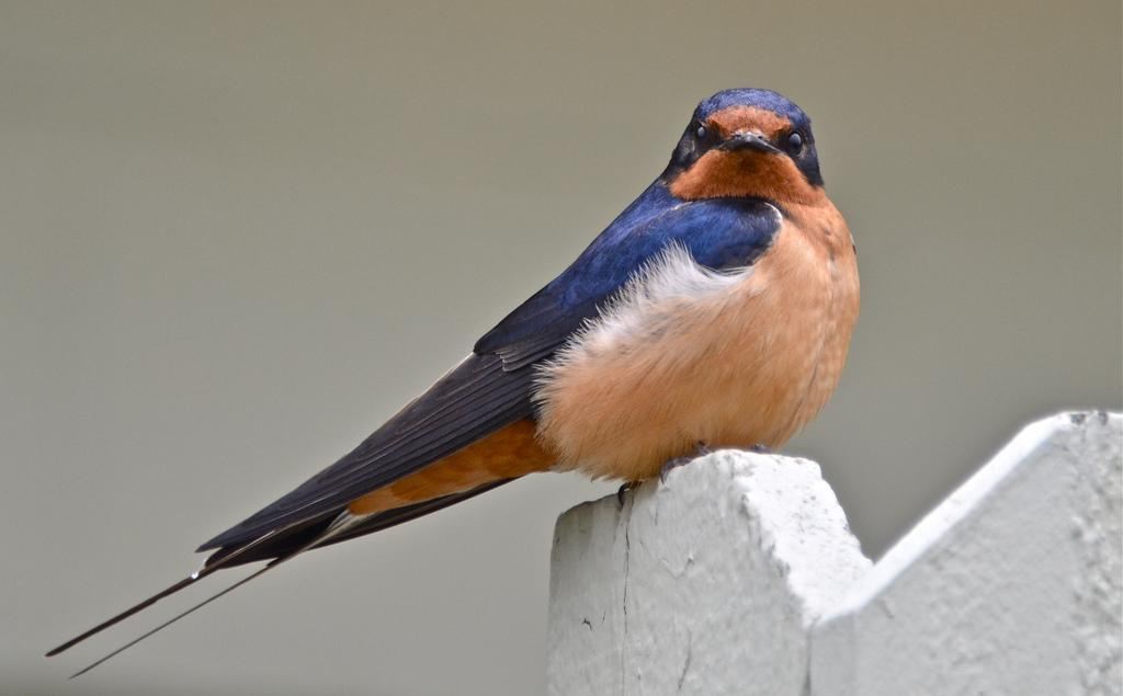bird lovers concerned about risk to an old home for barn swallows