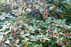 In his backyard, Richard Groves has a blackberry bush, similar to this one. He says eating the fruit brings back great memories of a slower, simpler time.