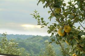 The Foggy Ridge Cider orchard has more than 1,200 trees and grows about 30 different varieties of apples.