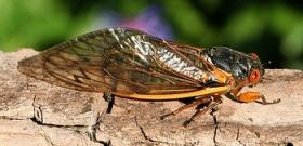 A cicada: rarely seen insect, or lunch?