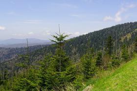 Clingmans Dome Spruce Fir Tree