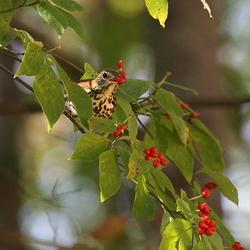 The Wood Thrush is one of the target species for Audubon North Carolina. The Dogwood berries are important fuel for fall migration. Several varieties of native plants are being planted in yards at Habitat for Humanity homes in Forsyth County.