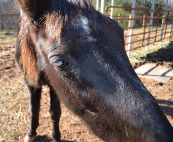 26-year-old Blackie is blind in one eye and is malnourished.