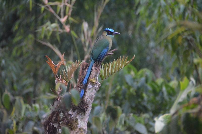 Southern Peru is a birders paradise. This is a highland mot-mot.