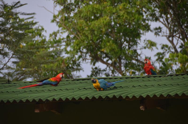 The birds species in the lowlands of the Amazon basin – especially in the biology preserve Villa Carmen – are particularly abundant and radiant, like this loud trio of macaws.