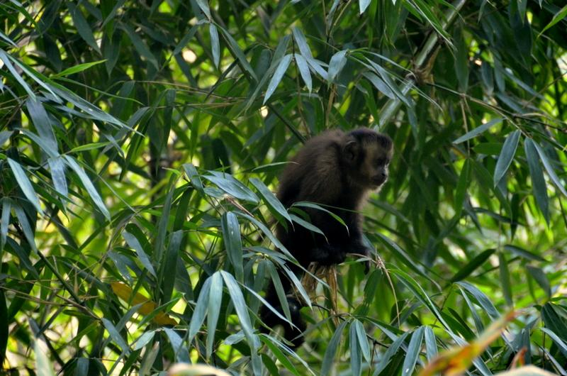 The forests and jungles of southern Peru are recognized at the most biologically diverse place on earth. The abundance of animal and bird life was more evident at lower elevations. Here a capuchin monkey sits in a bamboo tree.