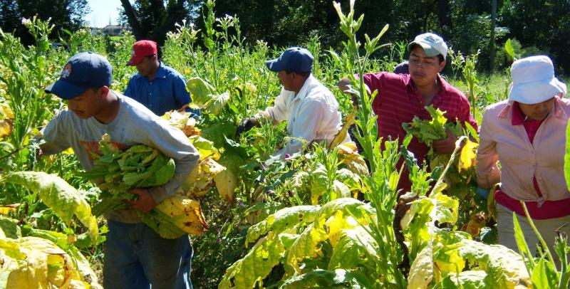 According to the N.C. Dept. of Labor, about 130,000 documented and undocumented immigrants work on N.C. farms. They plant and havest sweet potatoes, tobacco, strawberries and later in the year, christmas trees.