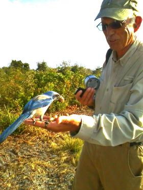 Vince Lamb attracts a Florida scrub jay with a handful of peanuts. Lamb monitors populations of these threatened birds for Brevard County's Environmentally Endangered Lands program.