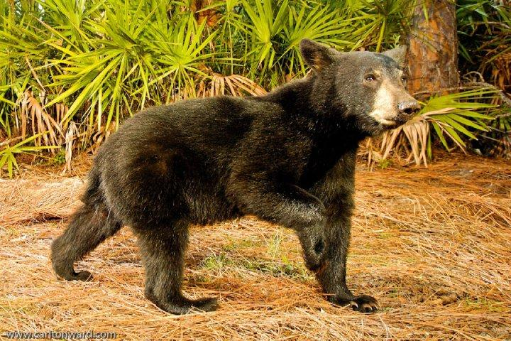 Florida Black Bear, Highlands County