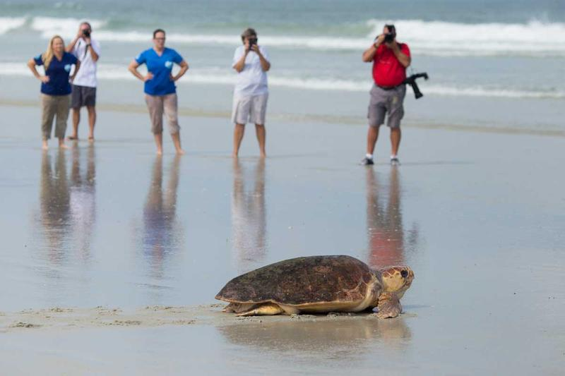 If you come across a sea turtle on the beach, it's best to leave it be, experts say.