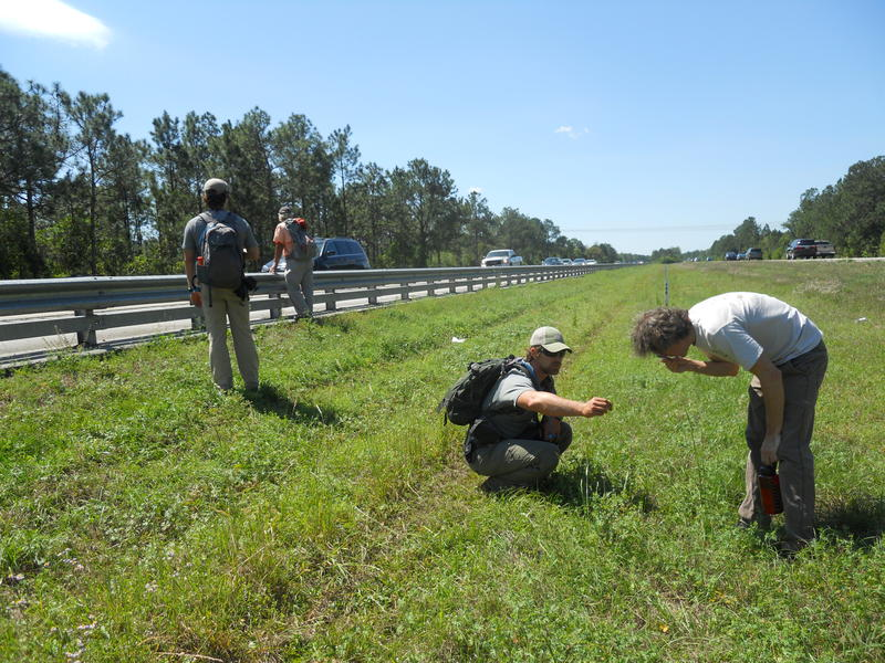 Biologists Guthrie & Smith identify vegetation in the median of I-4.