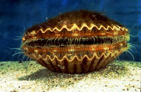 Here's a live Bay Scallop underwater in its shell
