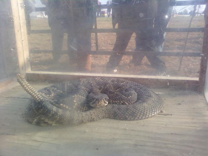 A captured rattlesnake warns onlookers