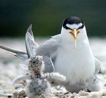 A least tern and its chick