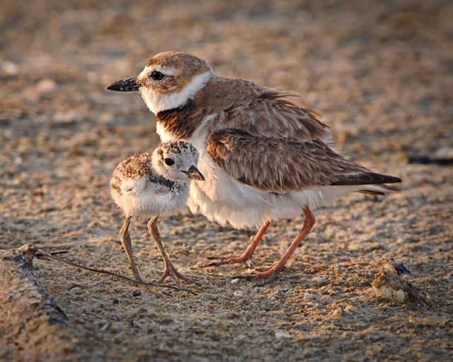 Wilson's plover and its chick