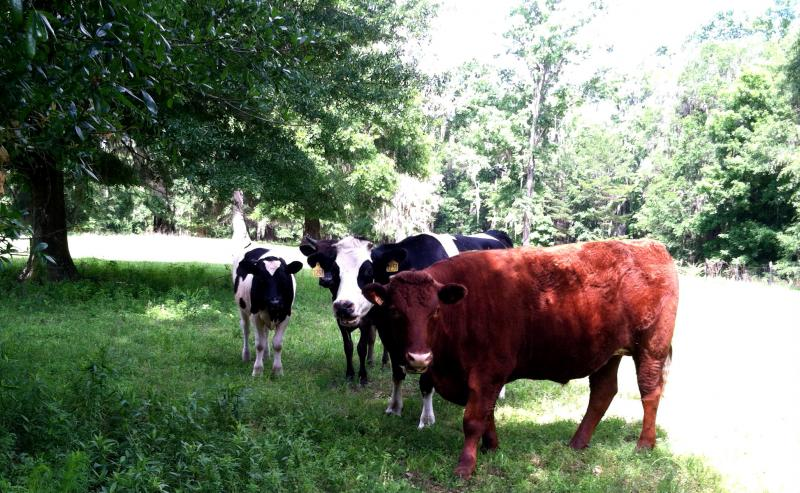 These cows have retired from duty at Sweet Grass Dairy and now enjoy a life of munching grass in the sunshine.