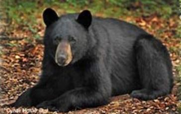 Rise in black bear population is causing an increase in bear sightings by Florida Panhandle residents.