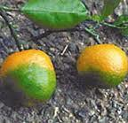 The effects of citrus greening cause fruit to fall prematurely and kill trees