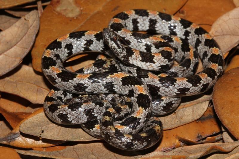 Florida Short-tailed Snake