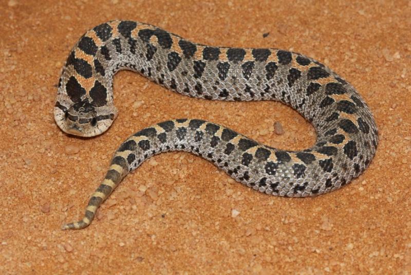 Florida Southern Hognose Snake