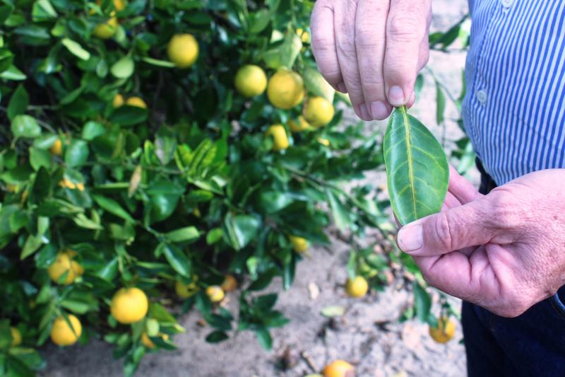 UF researcher Fred Gmitter holds a citrus leaf showing a classic sign of greening disease: Yellowing along the veins