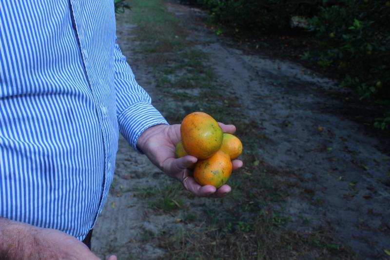Gmitter holds fruit with discoloration from greening disease.