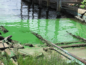 green algae bloom in the St. Lucie River, August 2013