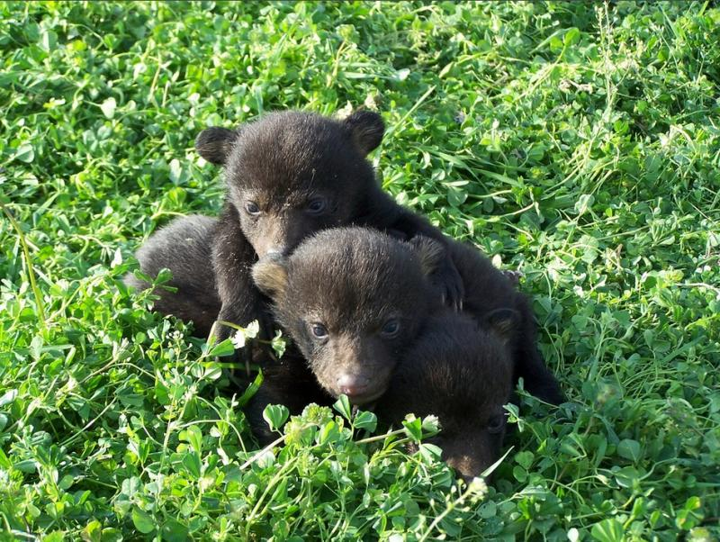 Bear cubs in a field
