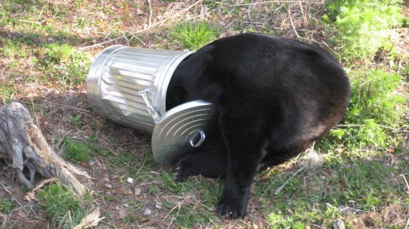 A Florida Black Bear in a trash can