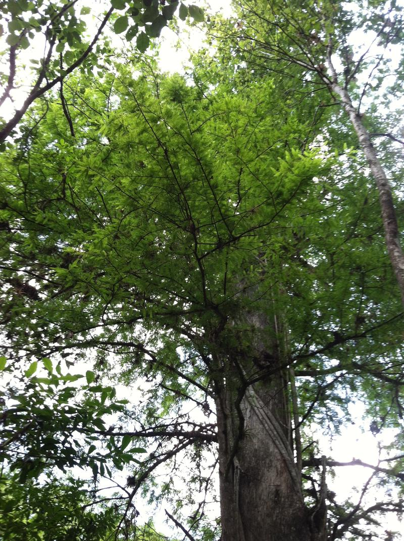 Bald Cypress Tree at Corkscrew Swamp
