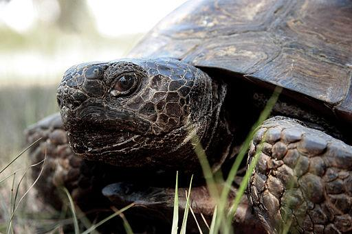 This is a close up shot of a gopher tortoise's face